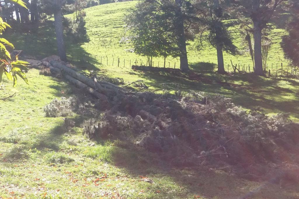 Pine Felling